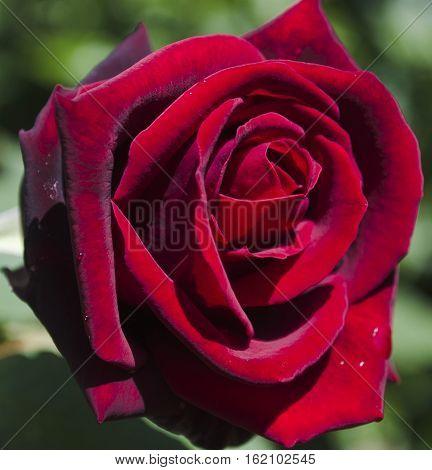Red rose, deep secret, velvety petals fully open