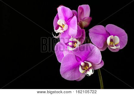 Close-up of pink orchid flower. Zen in the art of flowers. Macro photography of nature.