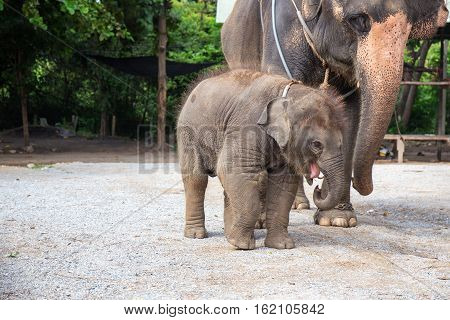 1 year cute baby Asiatic elephant with mother and copy space
