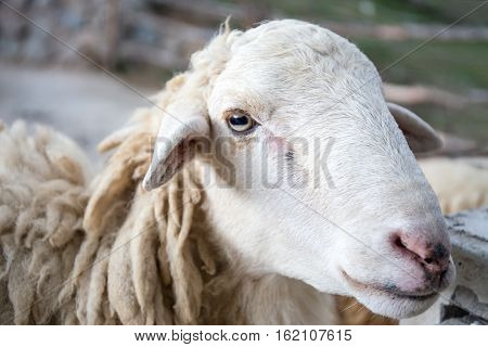close up of white sheep face portrait