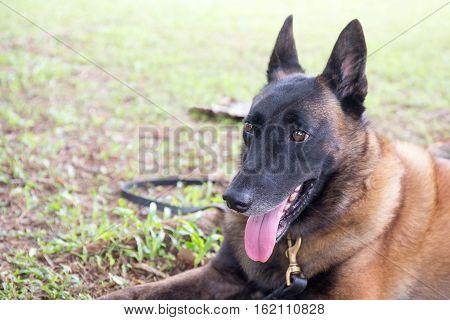 german shepherd dog in police k-9 unit crouch on green grass field