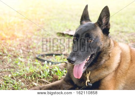 german shepherd dog in police k-9 unit crouch on green grass field with flare and vintage tone
