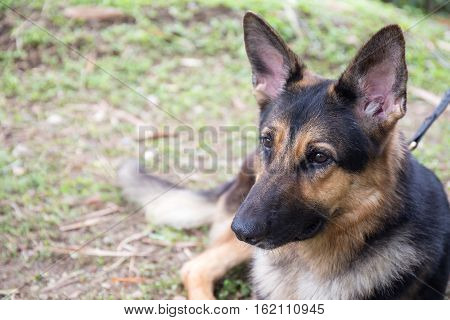 german sheperd dog in police k-9 unit wait for bomb search