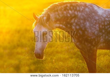 Grey horse with long mane portrait at sunset light
