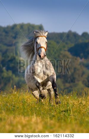 Beautiful grey horse with long mane run gallop on pasture