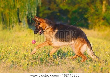 Shepherd dog play with ball on park
