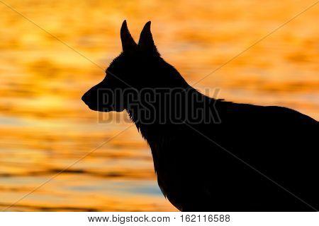 Shepherd dog portrait against sunset in river