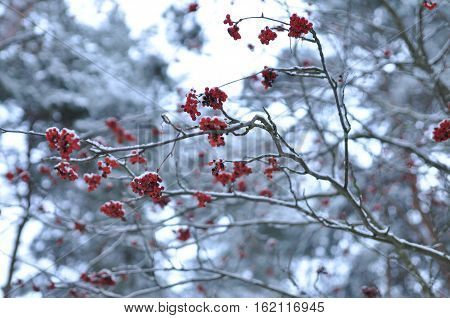 Minimalistic monochrome landscape. Red berries of rowan on the background of Pine bunches selective focus.