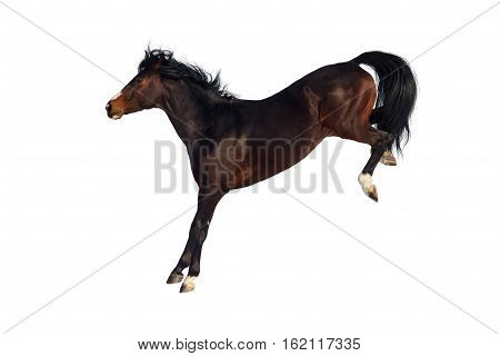 Bay horse run and jump funny isolated on white