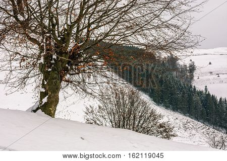 Tree In Front Of Spruce Forest In Snow