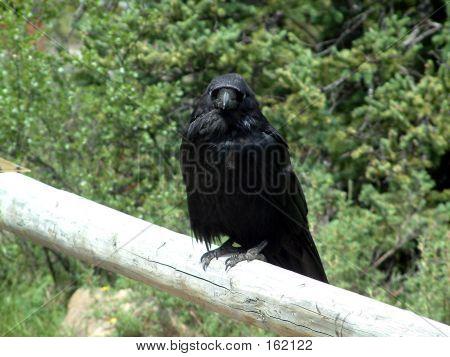 raven in  park poster