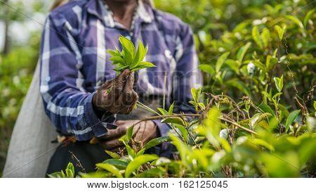 Sri Lanka: collection of tea in tea plantation