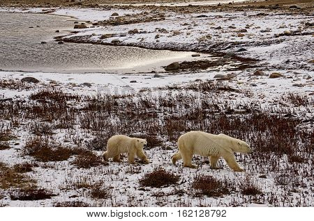 Mother and cub polar bears in Churchill, Manitoba