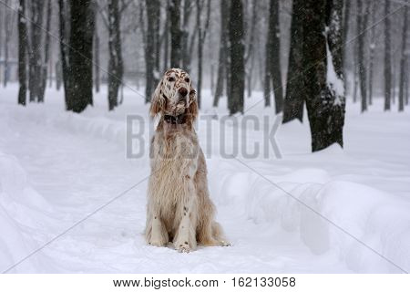 Bright white and orange spotty big dog of hunting breed sitting in the snowy city park in winter wonderland