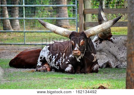 A view of Texas longhorn cattle lying down
