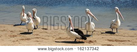 Six Australian pelicans standing in the sun on the sand by a river preening and relaxing.