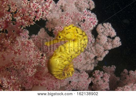 Tigertail Seahorse. Yellow Seahorse on red soft coral. Sea horse