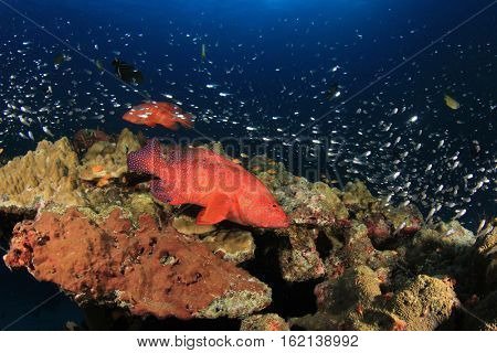 Coral Grouper fish. Tropical fish on underwater reef