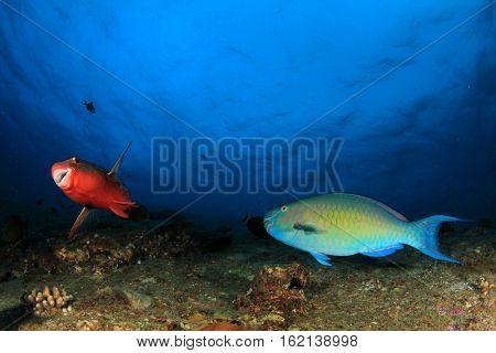 Parrotfish fish in ocean