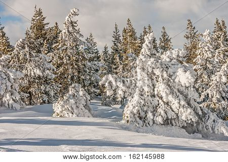 Whether these trees have a heavy or light coat of snow together the contrasts are lovely