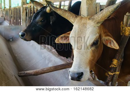 cow in shed in the agriculture farm