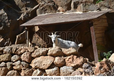 White Goat on rocky cliff in Spanish island