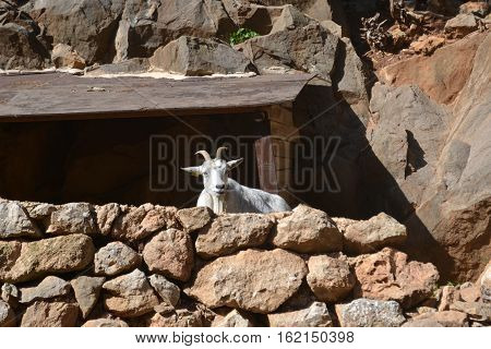 Resting Goat on top of a rocky cliff