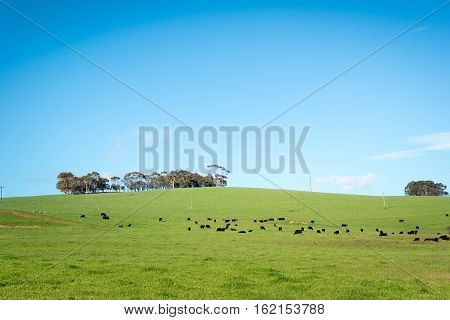 Generic green farmland with black cows standing along the ridge of a hill with blue sky and fluffy white clouds behind.