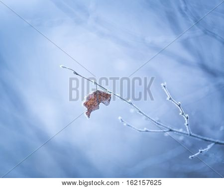 Beautiful Frozen Tree Branch With  Dead Leaves