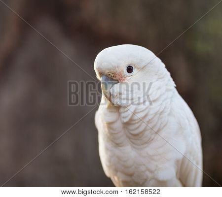 The Tanimbar corella also known as Goffin's cockatoo or Goffin's corella, is a species of cockatoo endemic to forests of Yamdena, Larat and Selaru, all islands in the Tanimbar Islands in Indonesia.