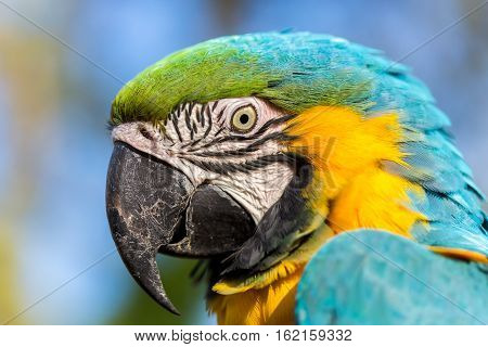The blue-and-yellow, also known as the blue-and-gold macaw, is a large South American parrot with blue top parts and yellow under parts. It is a member of the large group of neotropical parrots.