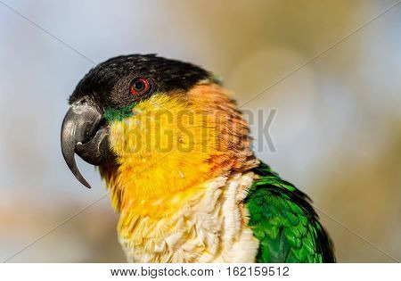 The caiques are species of parrots in the genus Pionites. They are relatively small parrots and stocky, with a short, square tail and very bright colors. poster