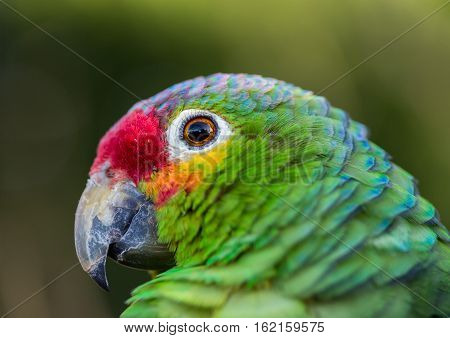 The red-lored amazon or red-lored parrot  is a species from the amazon, native to tropical regions of the Americas, from eastern Mexico south to Ecuador where it occurs in humid evergreen forests.