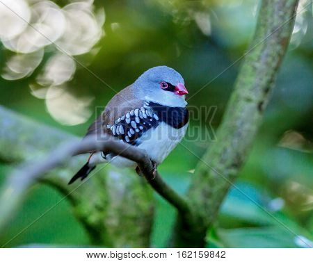 The diamond firetail is a finch that has a fiery red bill, eyes, and rump. It has a thick black band that extends horizontally until it reaches the part of the wings which are black with white spots.