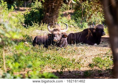 The gaur, also called Indian bison, is the largest extant bovine, native to South Asia and Southeast Asia. They are often hunted and eaten by tigers, but do not go down without a fierce fight.