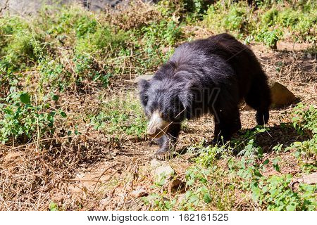 The sloth bear, also known as the labiated bear, is a nocturnal insectivorous species native to the Indian subcontinent.