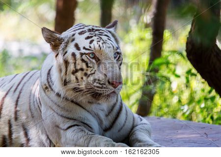 The white tiger is a pigmentation variant of the Bengal tiger, which is reported in the wild from time to time in the Indian states of Assam, West Bengal and Bihar in the Sunderbans region.