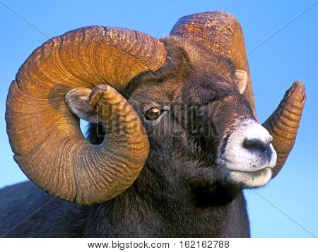 Portrait of Bighorn Ram full curl portrait close up