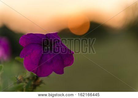Purple petunia flower against the backdrop of the setting sun. Petunia axillaris