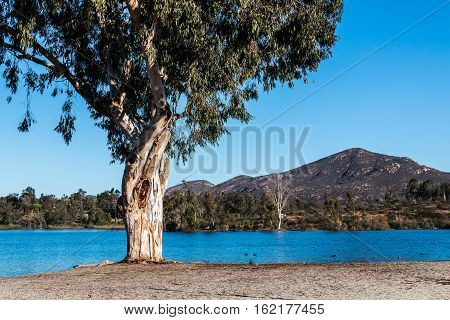Tree at Lake Murray with Cowles Mountain in the background at Mission Trails Regional Park in San Diego, California.