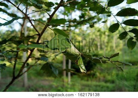 Ants Nest In The Trees A Green Leaves