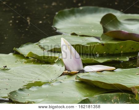 European White Waterlily Water Rose or Nenuphar Nymphaea alba flower bud close-up selective focus shallow DOF