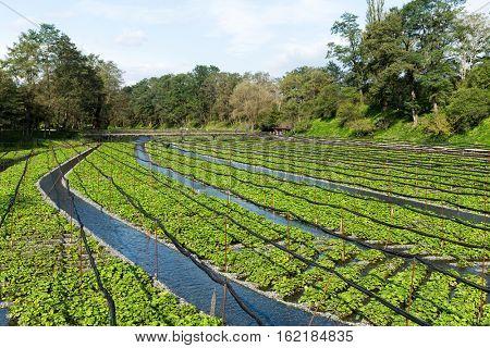 Wasabi farm in Nagano of Japan