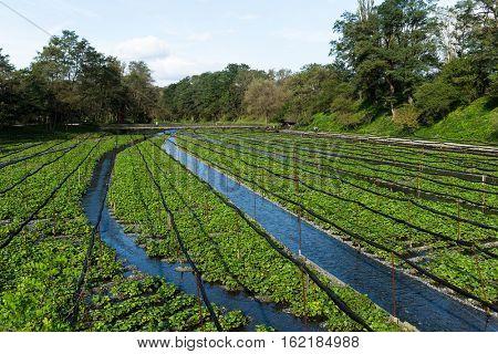 Wasabi farm in Nagano, Japan