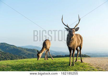 Deer Buck on mountain
