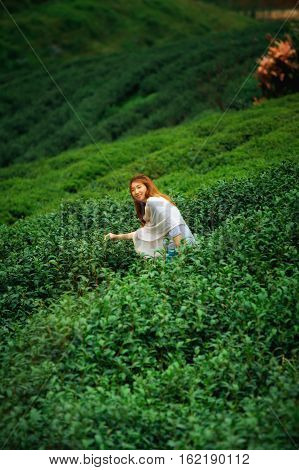 Asian Happy Woman Picking Tea Leaf In Field On Doi Angkhang Mountain  Thailand