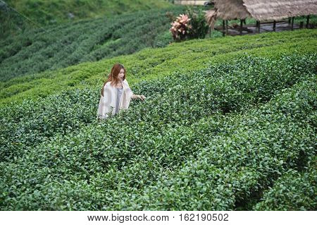 Asian Woman Picking Tea Leaf In Plantation, Angkhang Mountain Thailand