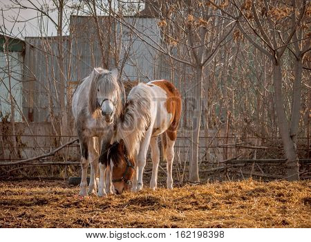 Beautiful white horse and her	foal in the walking open-air cage, nice sunny day. Horse walks on a pasture. Horses eating a hay at ranch summertime. Horses chewing dry grass on green trees background.