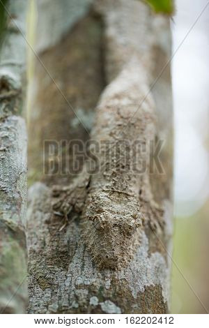 Masked Mossy Leaf-tailed Gecko