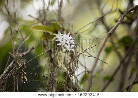 White Flower In Madagascar Rainforest